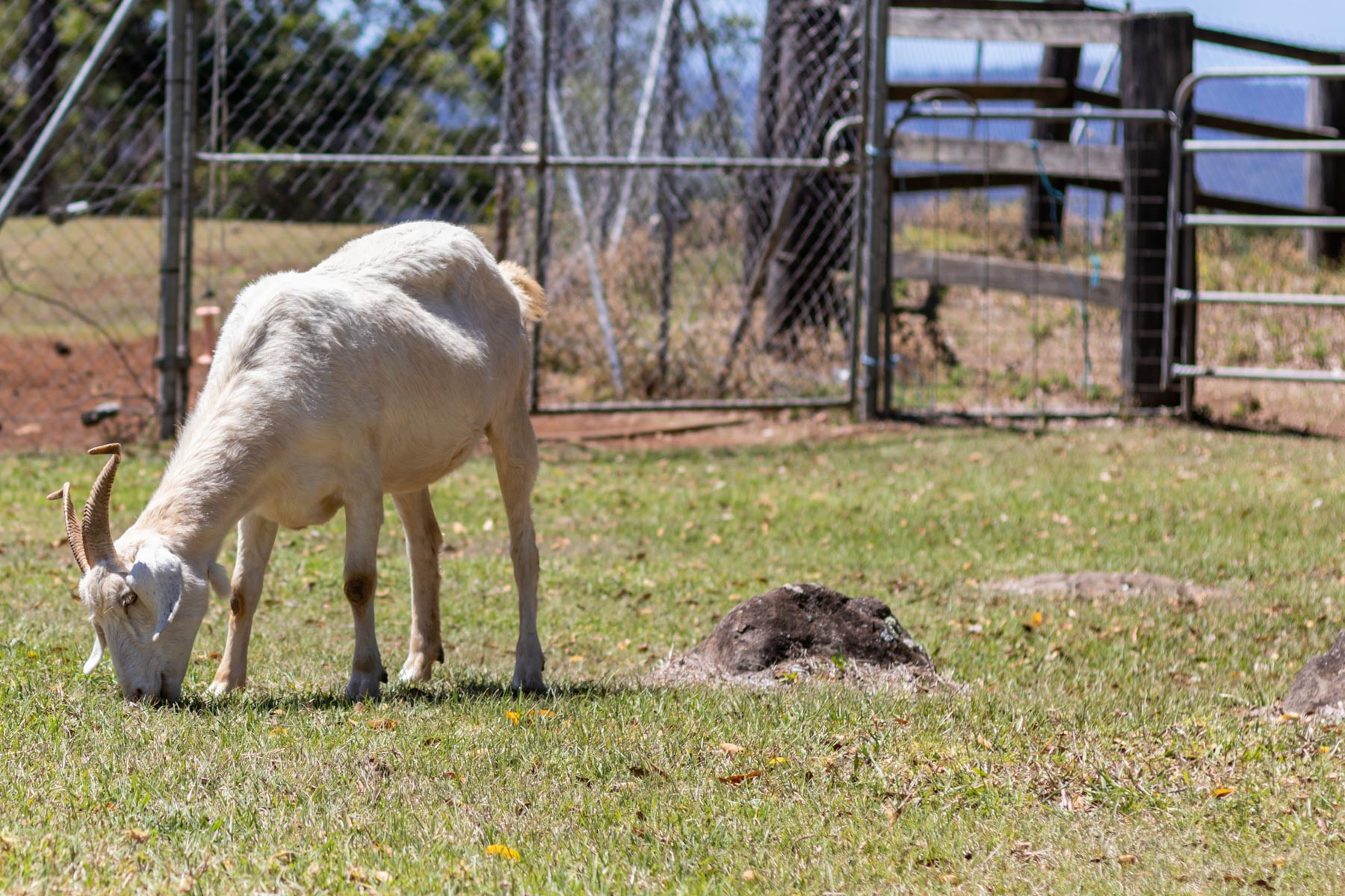 Mystery Mountain Farm Stay   Goat