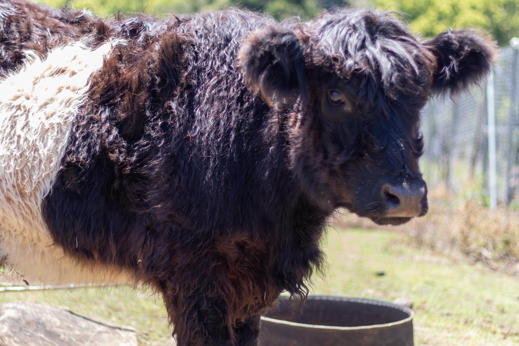 Mystery Mountain Farm Stay   Cow